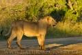 lev pustinný  0078