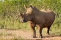 nosorožec tuponosý (bílý) 0009