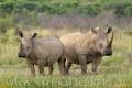 nosorožec tuponosý (bílý) 0011