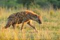 hyena skvrnitá 0007