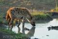 hyena skvrnitá 0006