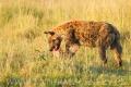 hyena skvrnitá 0003