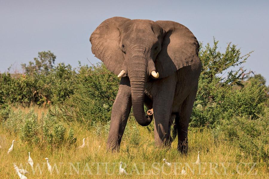 Slon Africk 253 0056 Slon Africk 253 Fotobanka
