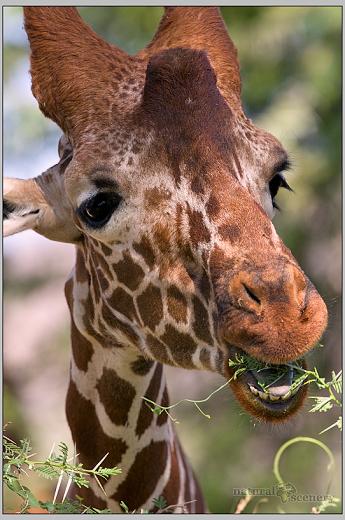 žirafa 01-2008