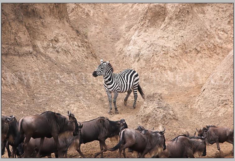 zebra, pakůň