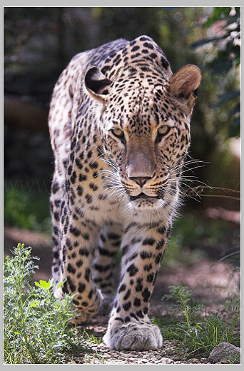levhart perský