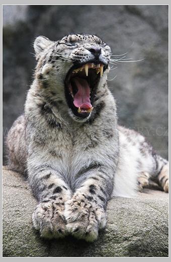 levhart sněžný - irbis