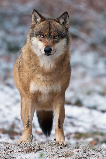 vlk 02-2009