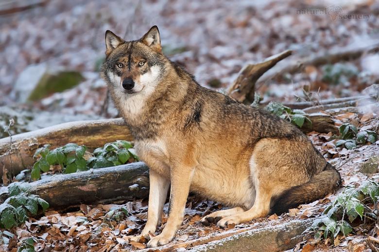 vlk 06-2009