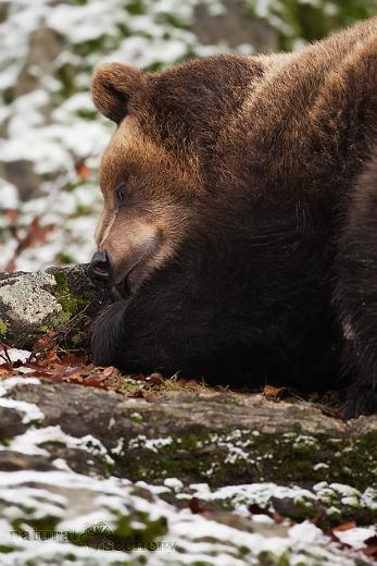 medvěd 01-2009