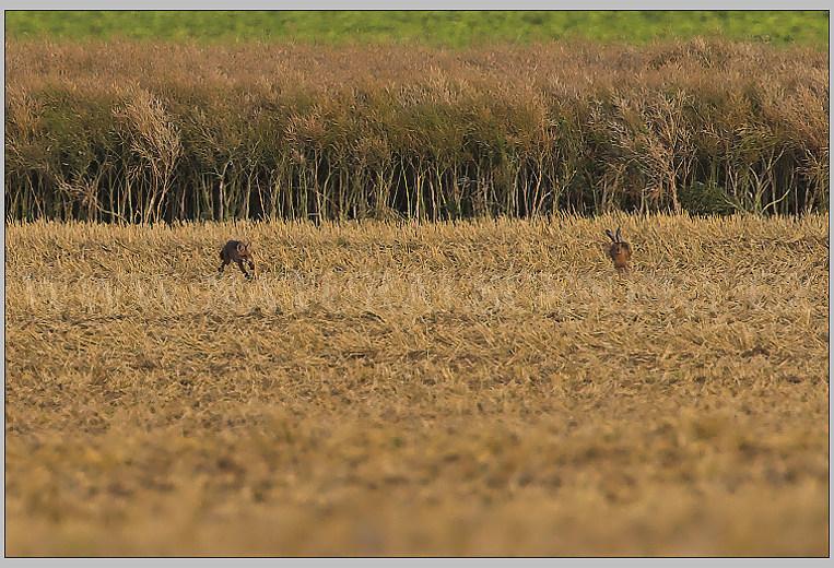 liška,zajíc 01-2007