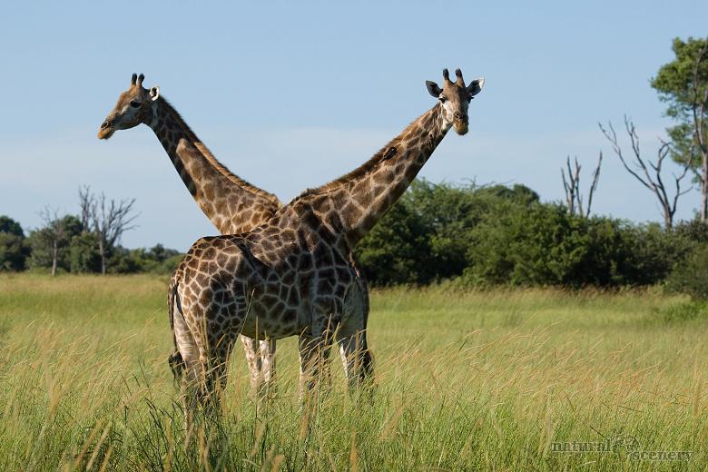 žirafa 01-2009
