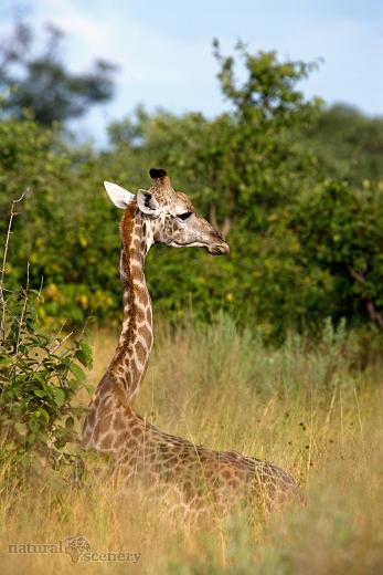 žirafa 02-2009