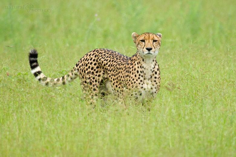 gepard 02-2009