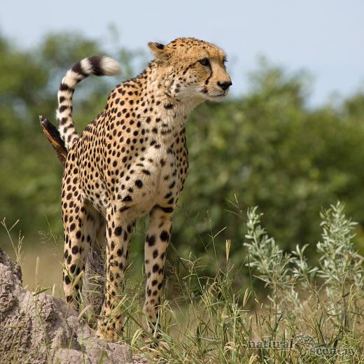 gepard 06-2009