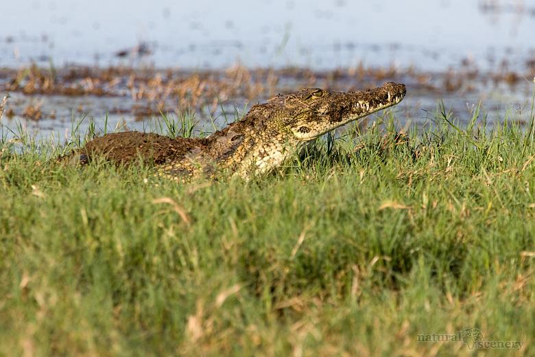 krokodýl 01-2009