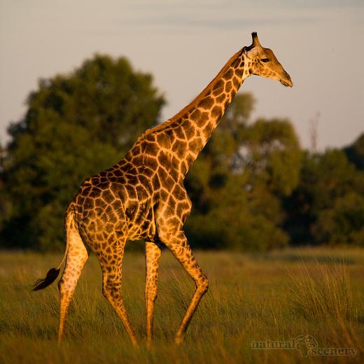 žirafa 03-2009