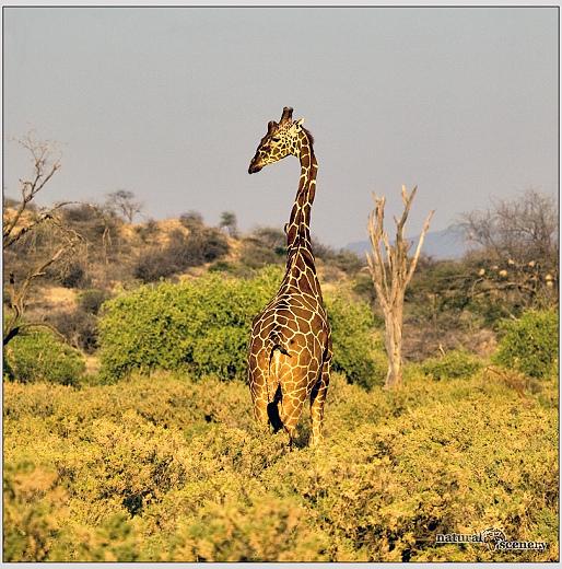žirafa 02-2008