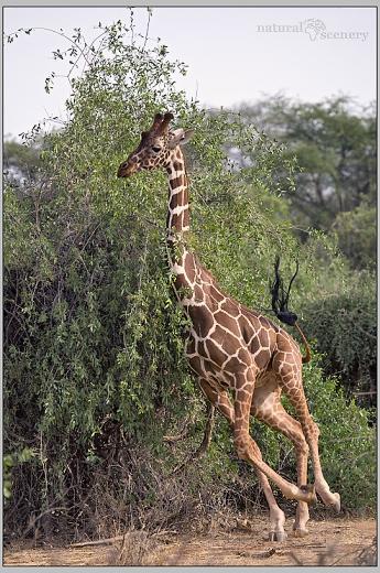 žirafa 03-2008