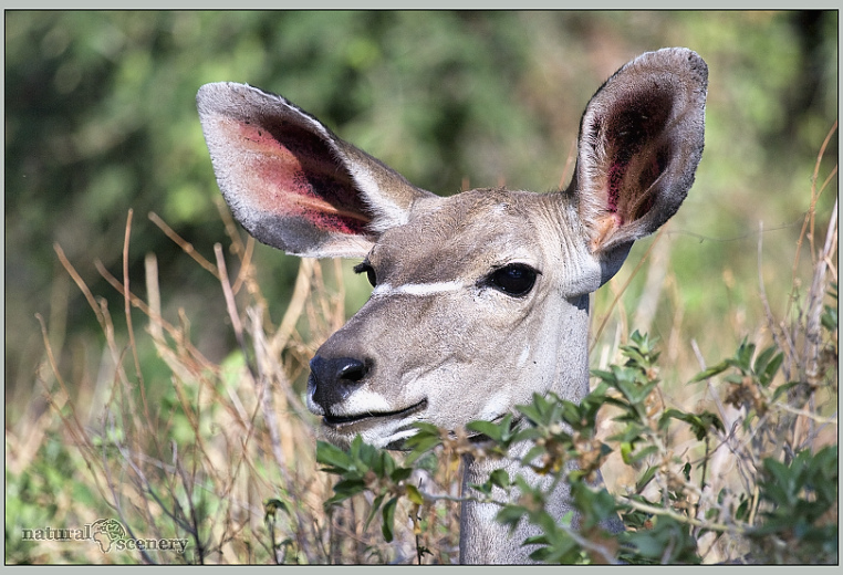 kudu 02-2008