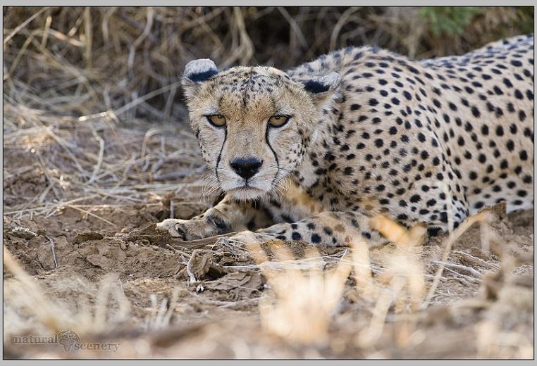 gepard 01-2008