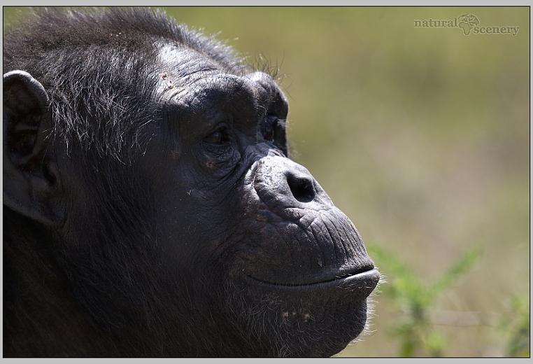 šimpanz 01-2008