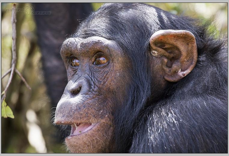 šimpanz 03-2008