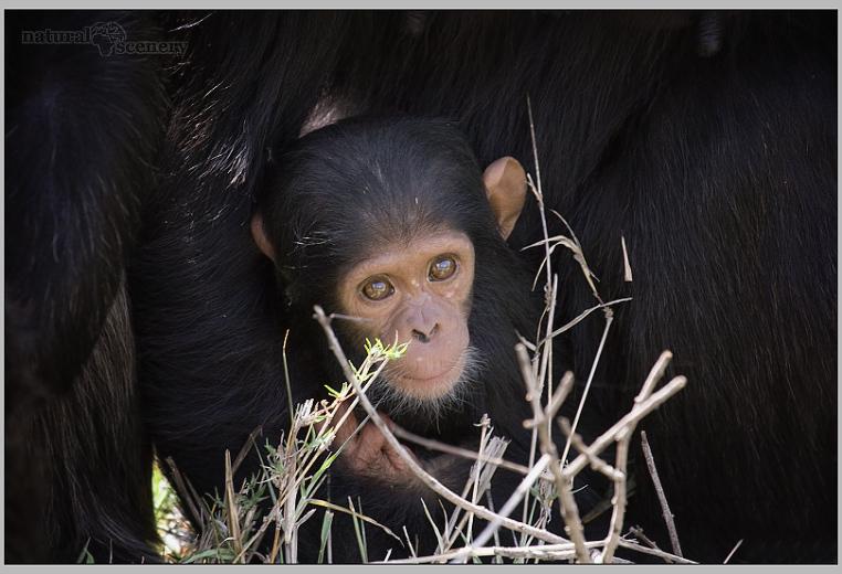 šimpanz 04-2008