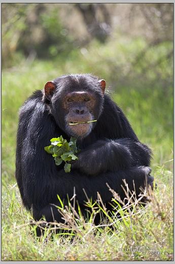 šimpanz 02-2008