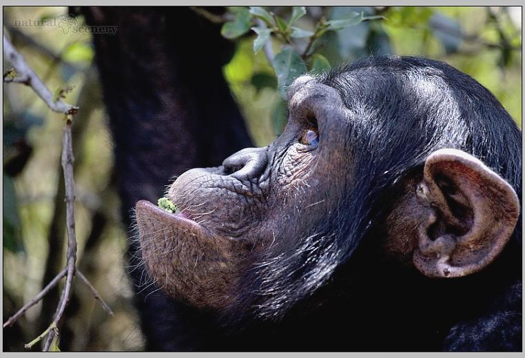 šimpanz 05-2008
