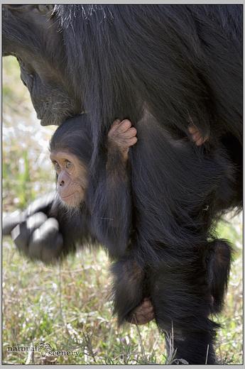 šimpanz 06-2008